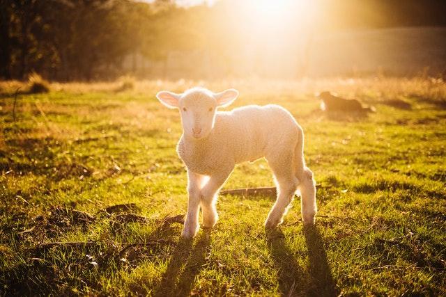 Lammas on nostanut suosiotaan viime vuosien aikana